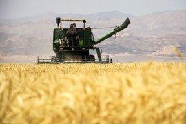 خرید بیش از 350 هزار تن گندم مازاد در لرستان